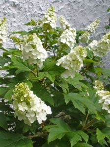 'Snow Queen' Oakleaf Hydrangea