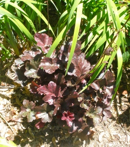 Burgundy Heuchera